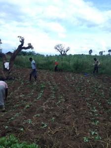Planting Kale